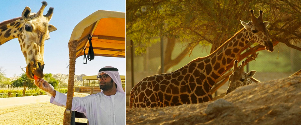 World's largest man-made safari park opening in UAE this ... | 963 x 400 jpeg 345kB