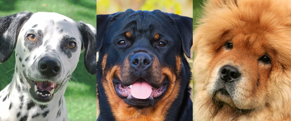 should dangerous dog breeds be banned Should dangerous dogs be banned following a number of media reports of serious dog attacks on children in the 1980s, the public called for measures to be taken to ensure public safety against specific aggressive breeds.