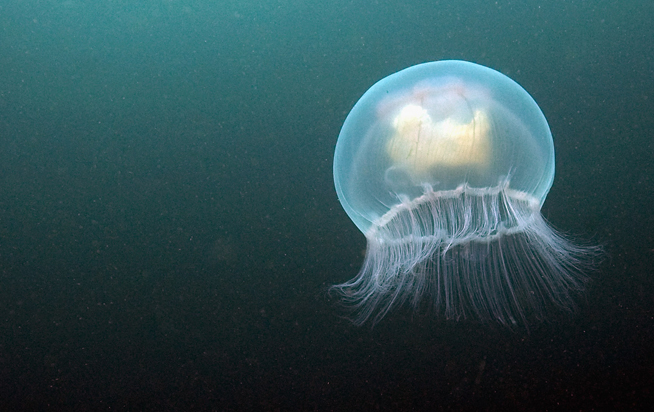 A List of Popular Types of Jellyfish with Pictures