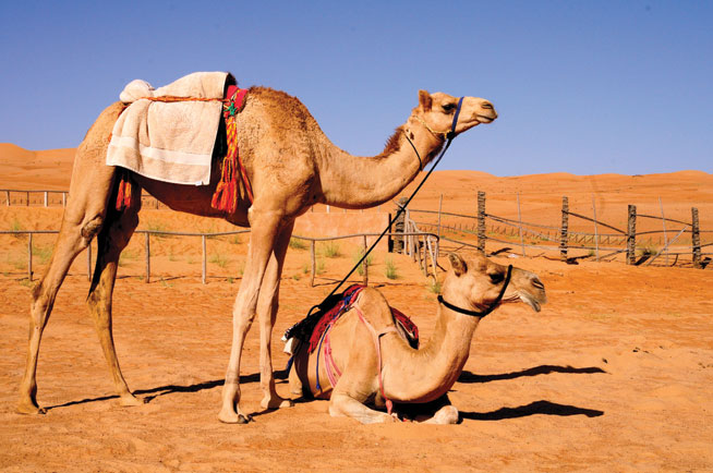 Where to see camels in UAE