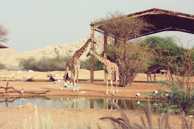 Where to see giraffes in Abu Dhabi
