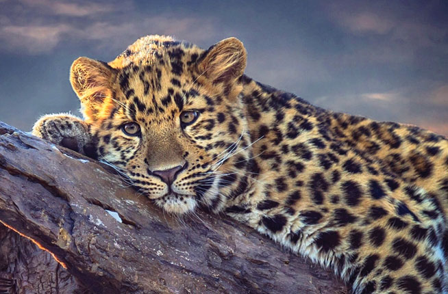 Where to see leopards in UAE