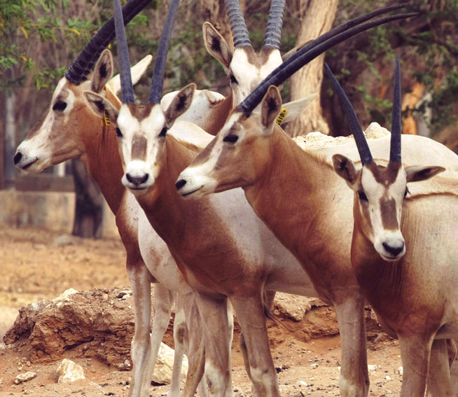 Where to see oryx in UAE