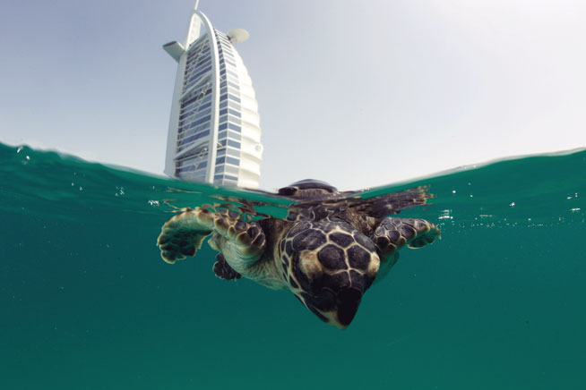 Where to see turtles in UAE