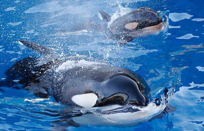Orca Whales have been spotted in the Arabian Gulf (stock image)