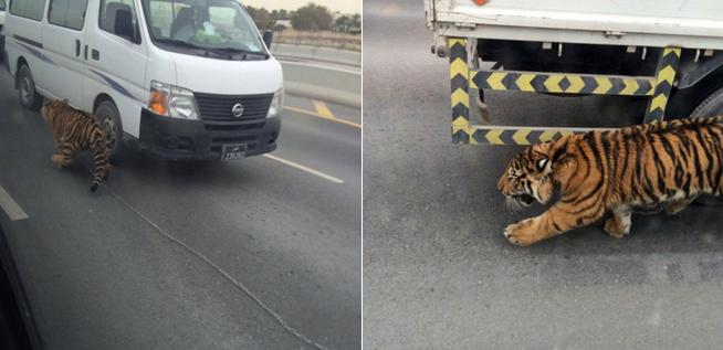 tiger doha