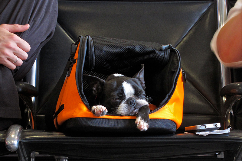 Dog waiting for flight