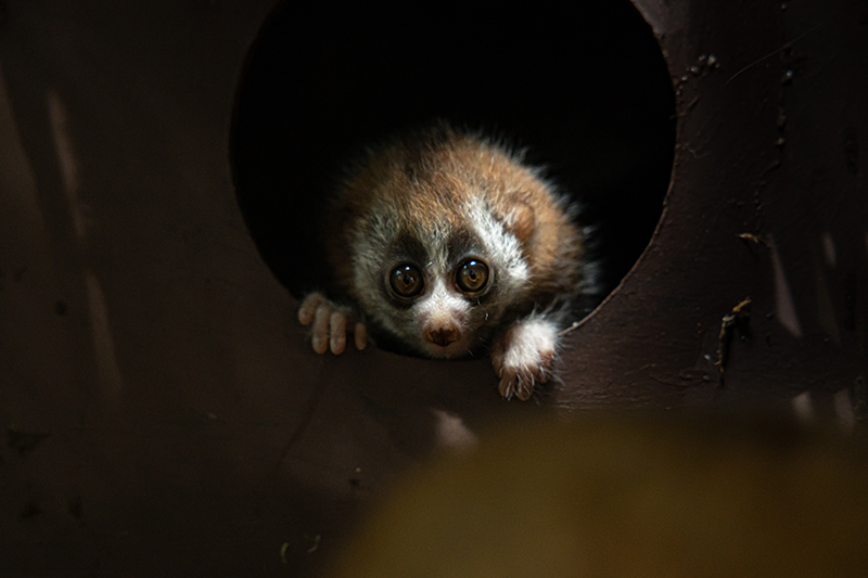 Green Planet - Slow Loris